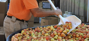 preparing apples for cider making