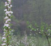 The orchard in bloom at Rural Ridge