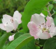 Quince blossoms in late April