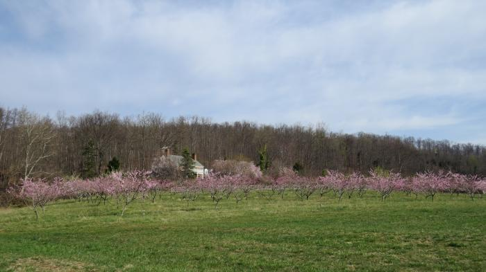 The peach bloom, early April 2013