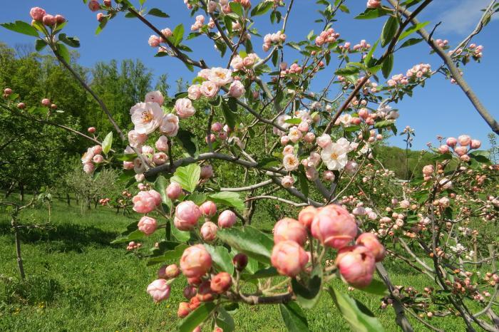 The Charlotte Crabapple in flower