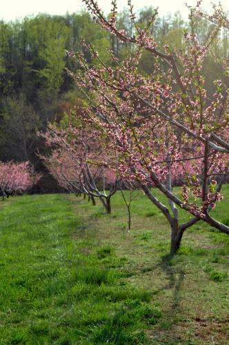 The peach bloom is especially impressive