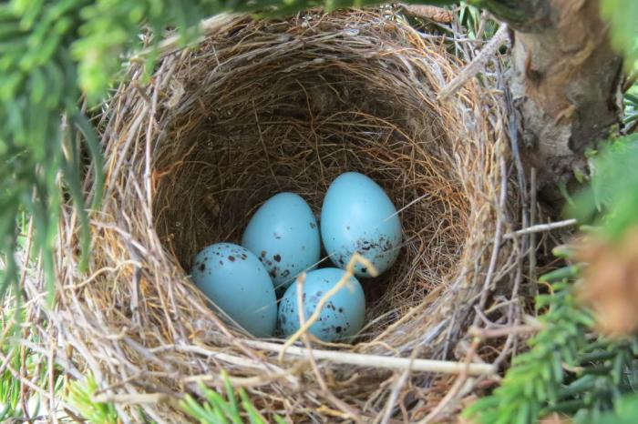 Chipping Sparrow nest in May- right outside our tasting room door!