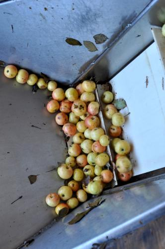 Hewes Crabapples at the start of the cidermaking process