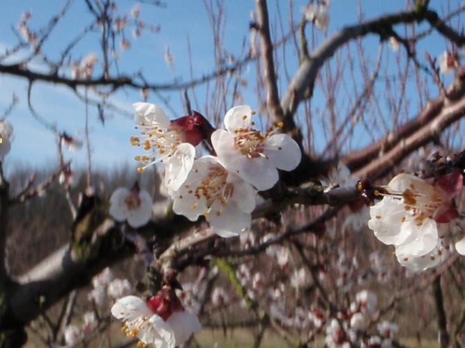 Apricot blooms in March