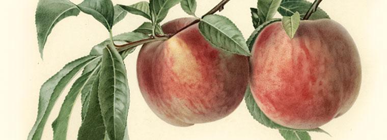 Fruit | Albemarle Ciderworks & Vintage Virginia Apples